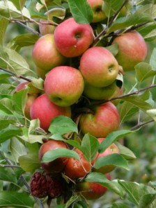 harvest_apple_ripe_221476